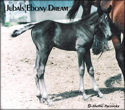 JUBALS EBONY DREAM #19903074